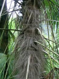 Caule de uma Arecaceae
