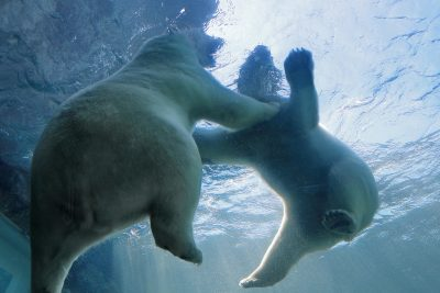 Ursos polares a nadar