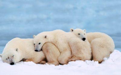 Familia de Ursos polares